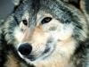 Фотография Wolfmen